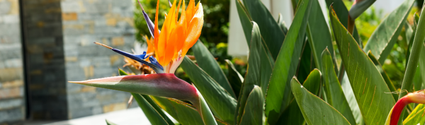 Clumping Plant Bird of Paradise Strelitzea reginae