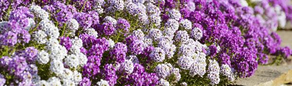 Annuals Alyssum Flowers