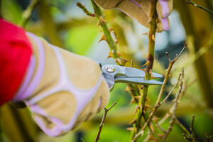 Light rose pruning