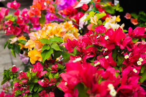 Colourful Bougainvilleas