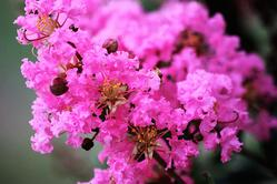 Crepe Myrtle - Summer Flowering Tree
