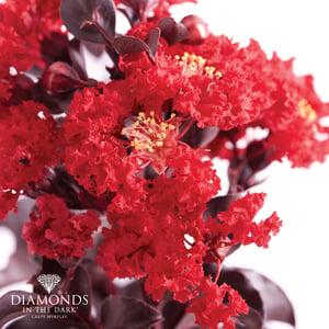 Diamonds in the Dark Best Red