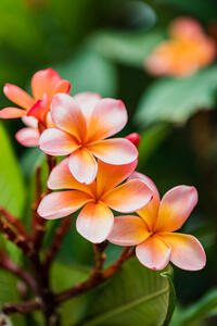 Frangipani  - Summer scents