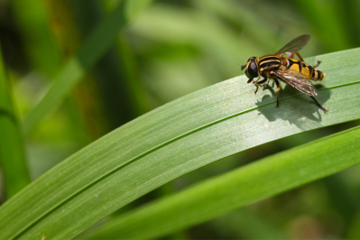 GB-  Hoverfly