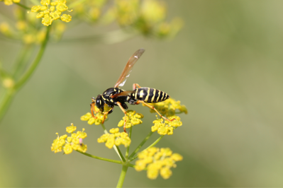 GB-  Wasps