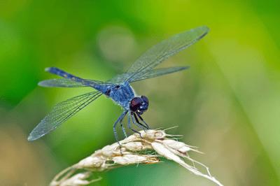 GB- Dragonfly