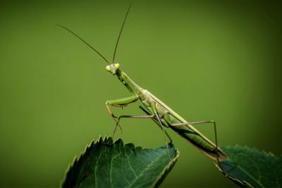 GB- Praying Mantis