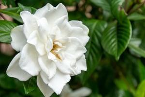 Gardenia in Flower