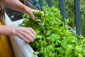 fresh-herbs-harvest-on-balcony