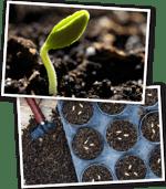 RP_Seedlings
