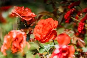 Roses Gardens (1)