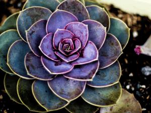 Succulent in Garden