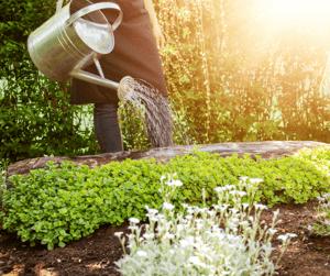 Watering Mulched Garden