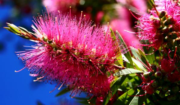 Flowering Bottlebrush Native