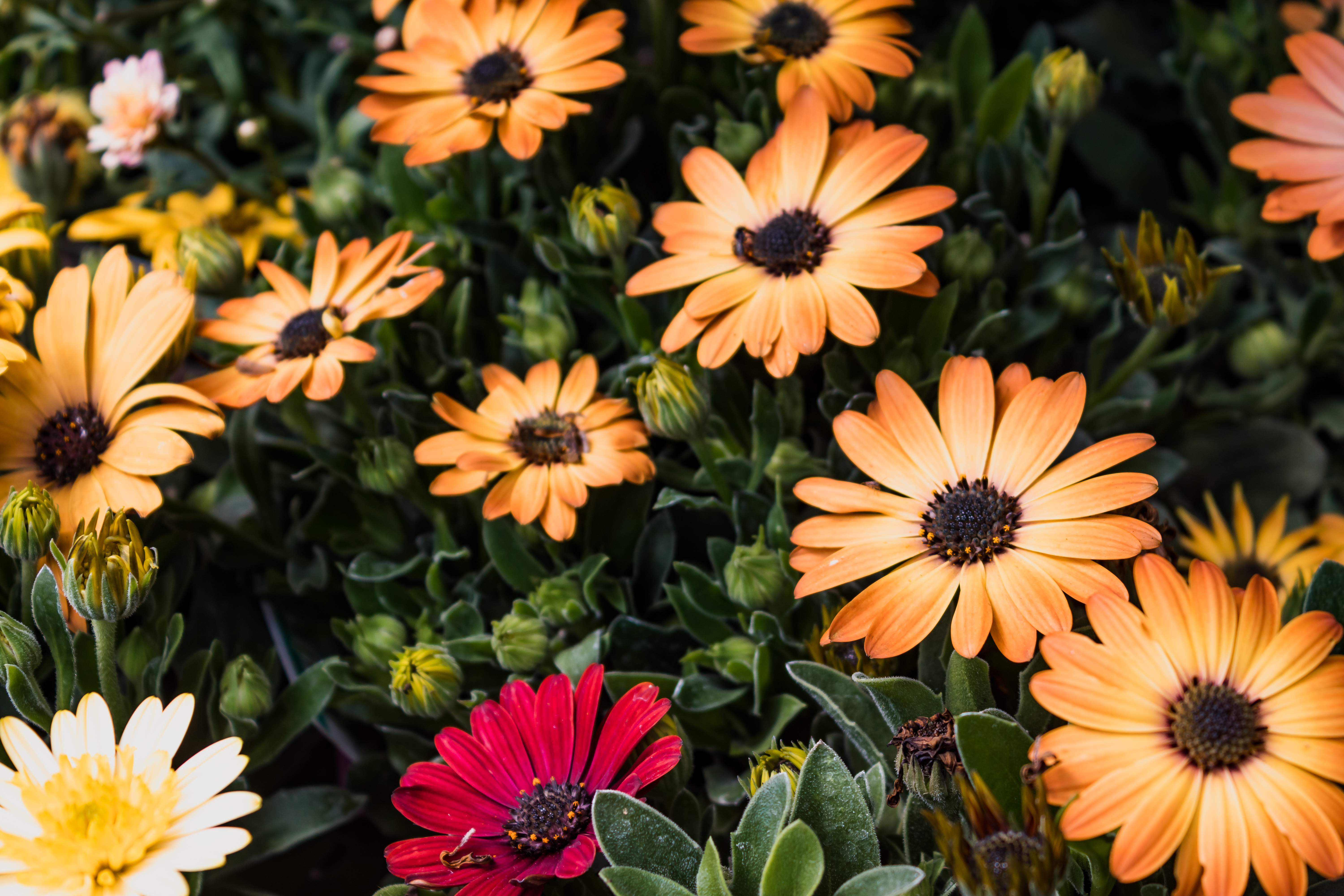 Osteospermum mixed