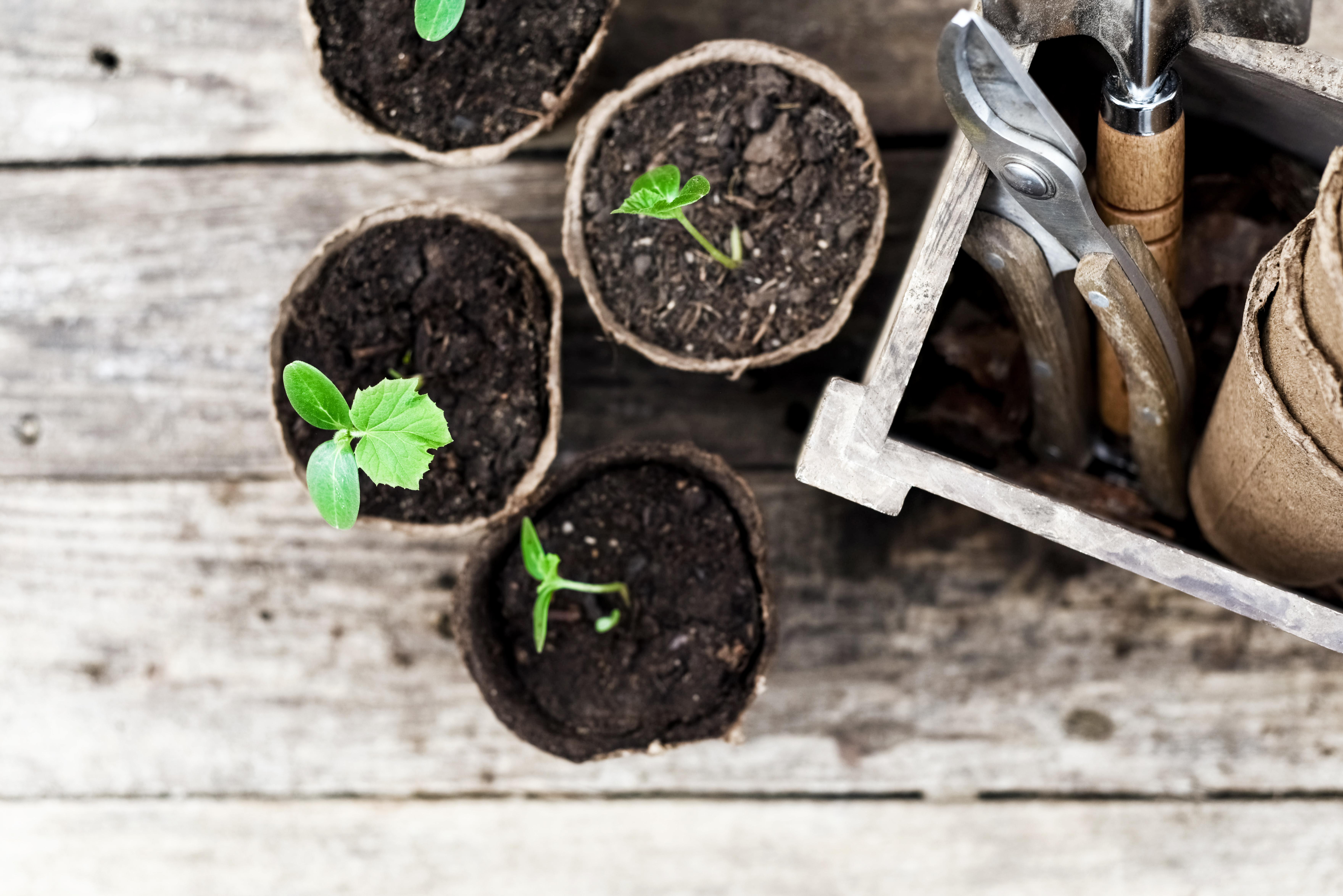 Seedlings in jiffy pots